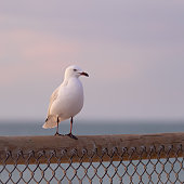 istock Seagull on a fence 1208481322