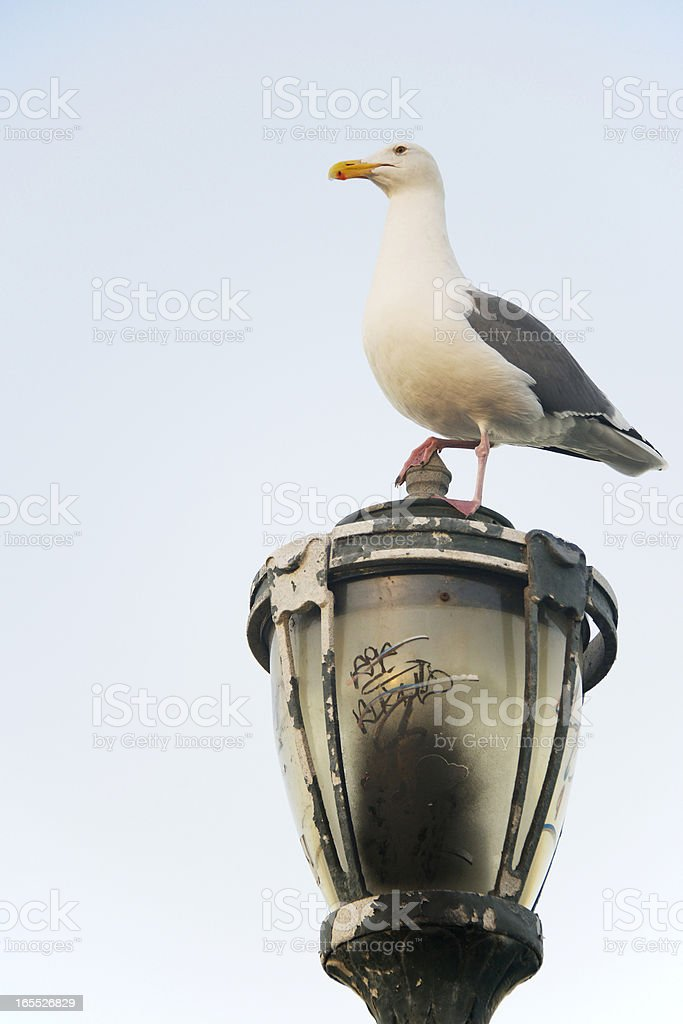 Seagull on a lamp watching over its domains, San Francisco royalty-free stock photo