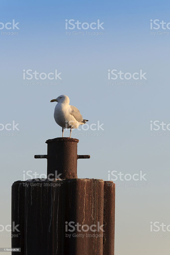 seagull on a mooring post royalty-free stock photo