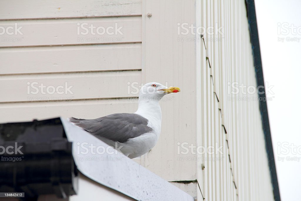 seagull on a roof stock photo