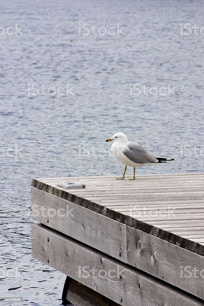 Seagull on a wooden jetty royalty-free stock photo