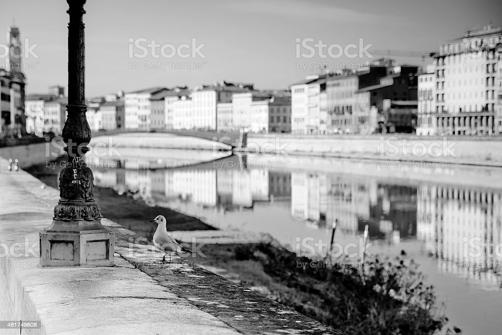 Seagull on banks of Arno river stock photo