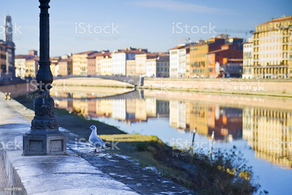Seagull on banks of river Arno - Italy stock photo