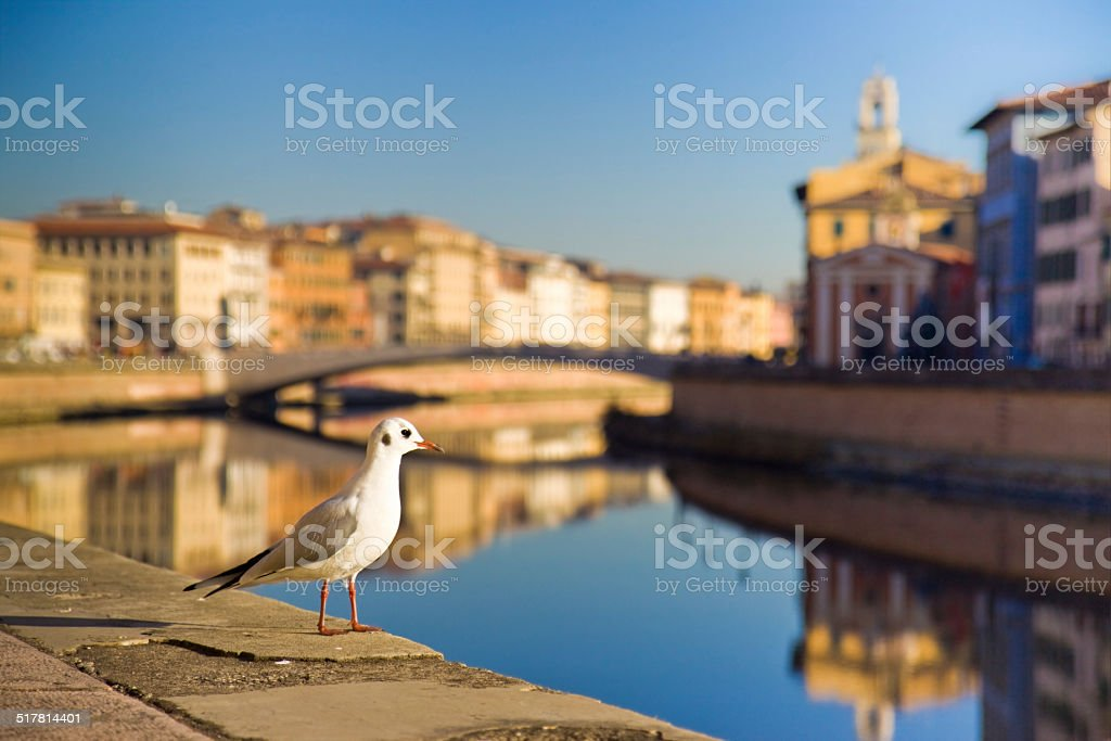 Seagull on banks of river Arno, Pisa (Tuscany - Italy) stock photo