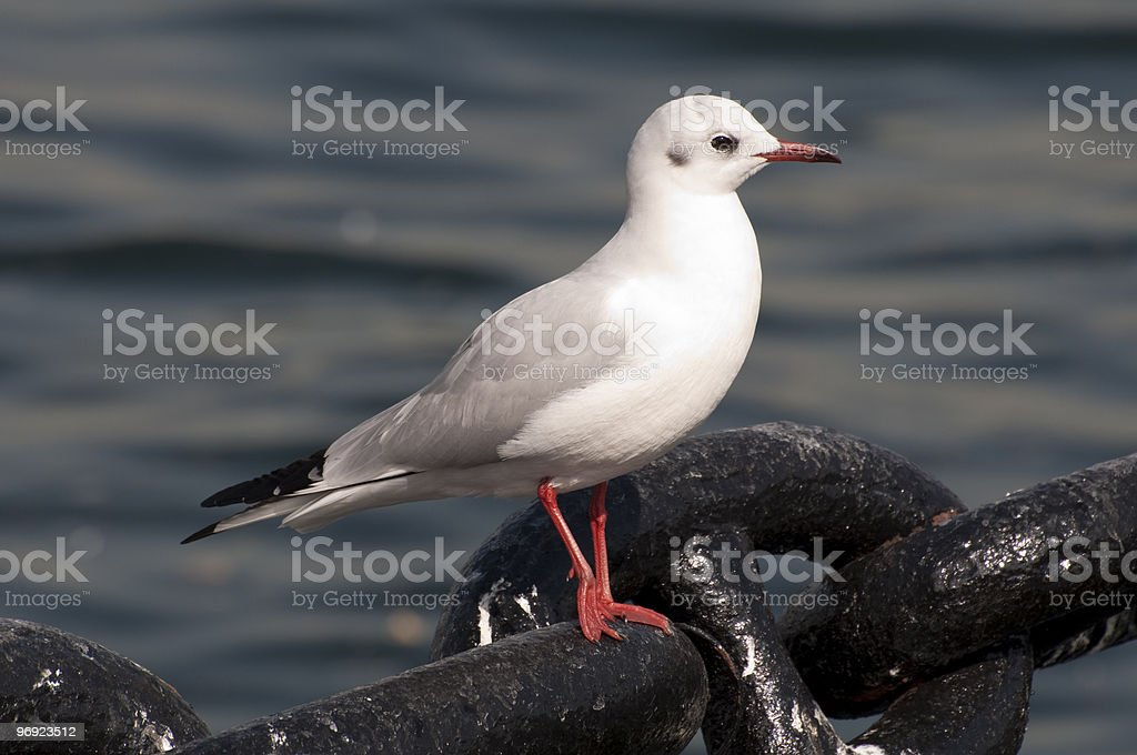 Seagull on chains royalty-free stock photo