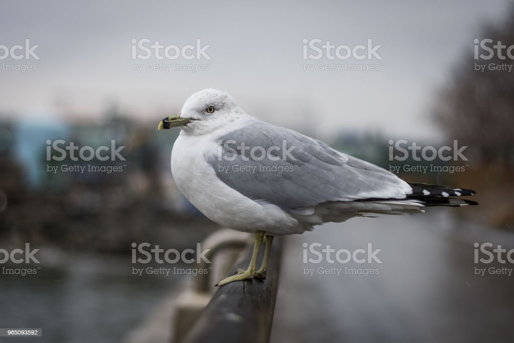 Seagull on railing in New York royalty-free stock photo