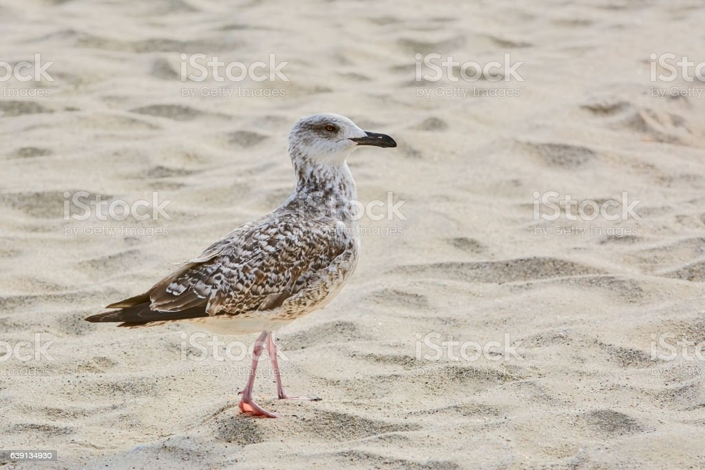Seagull on Sand stock photo