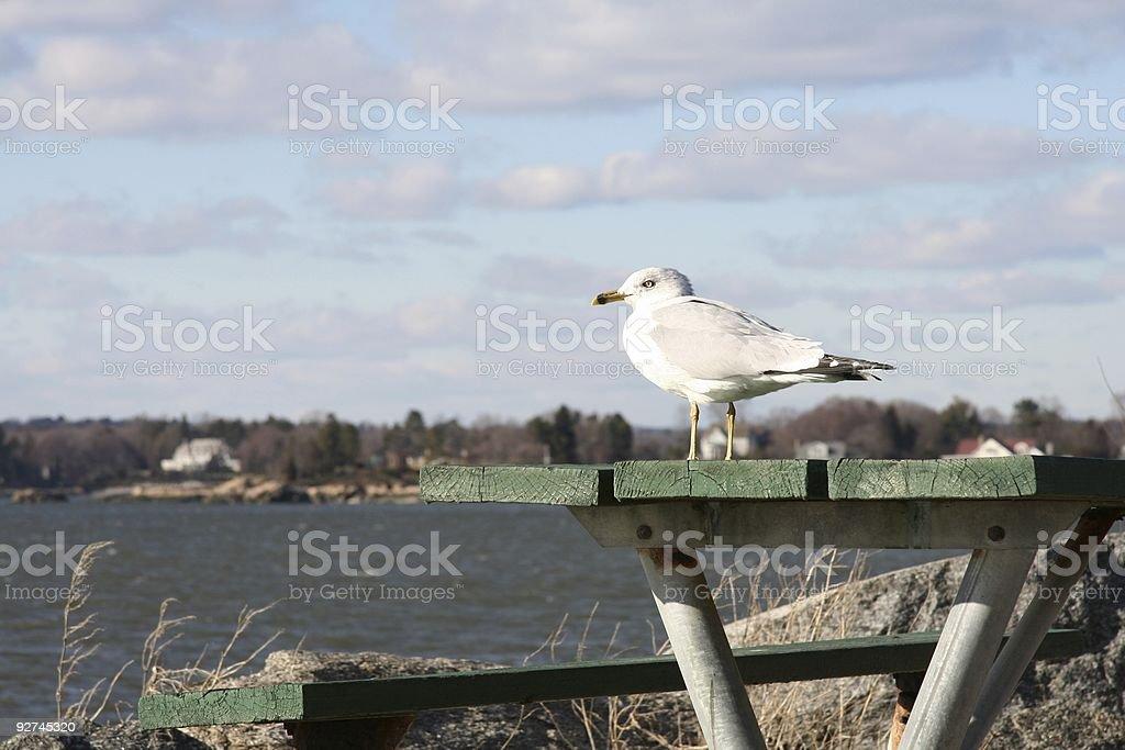 Möwe auf einem Tisch Lizenzfreies stock-foto
