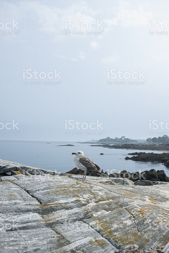 Seagull on the Atlantic royalty-free stock photo