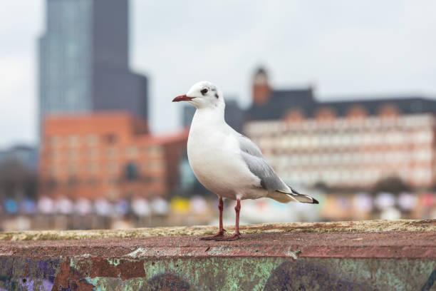 Hamburg Möwe Bilder Und Stockfotos Istock