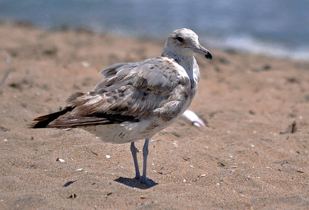 Seagull on the beach 1 Seagull on the beach neilliebert stock pictures, royalty-free photos & images
