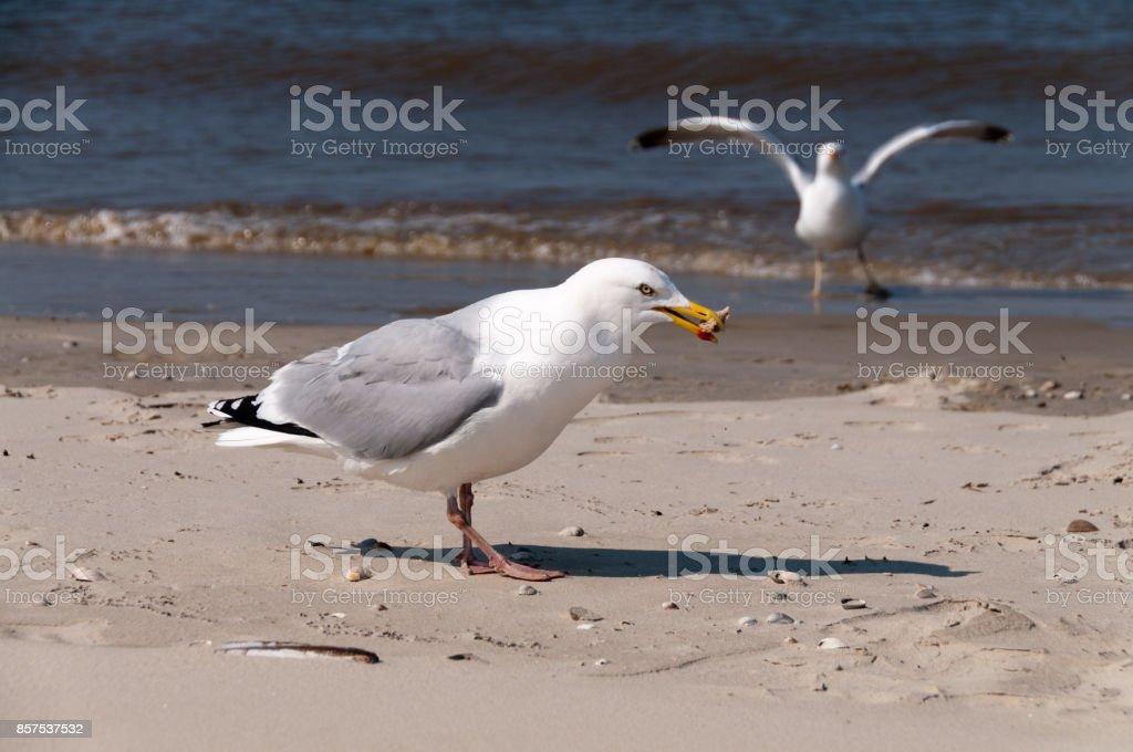 Möwe am Strand von Borkum – Foto