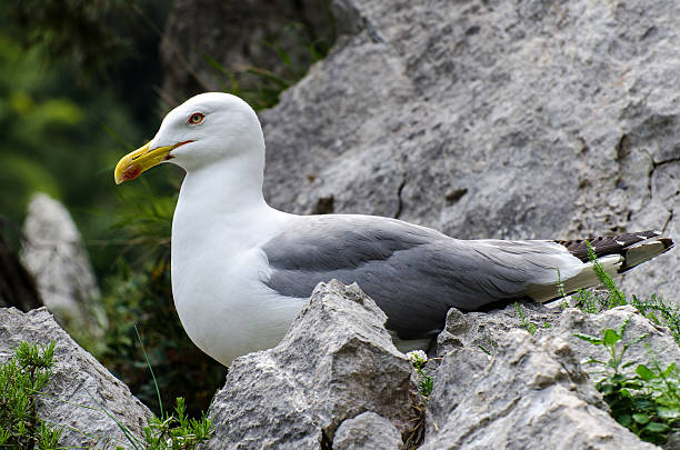 Gaviota on the rocks - foto de stock