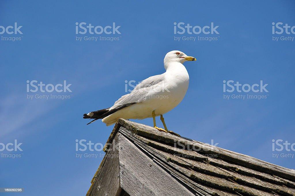 Möwe auf dem Dach – Foto