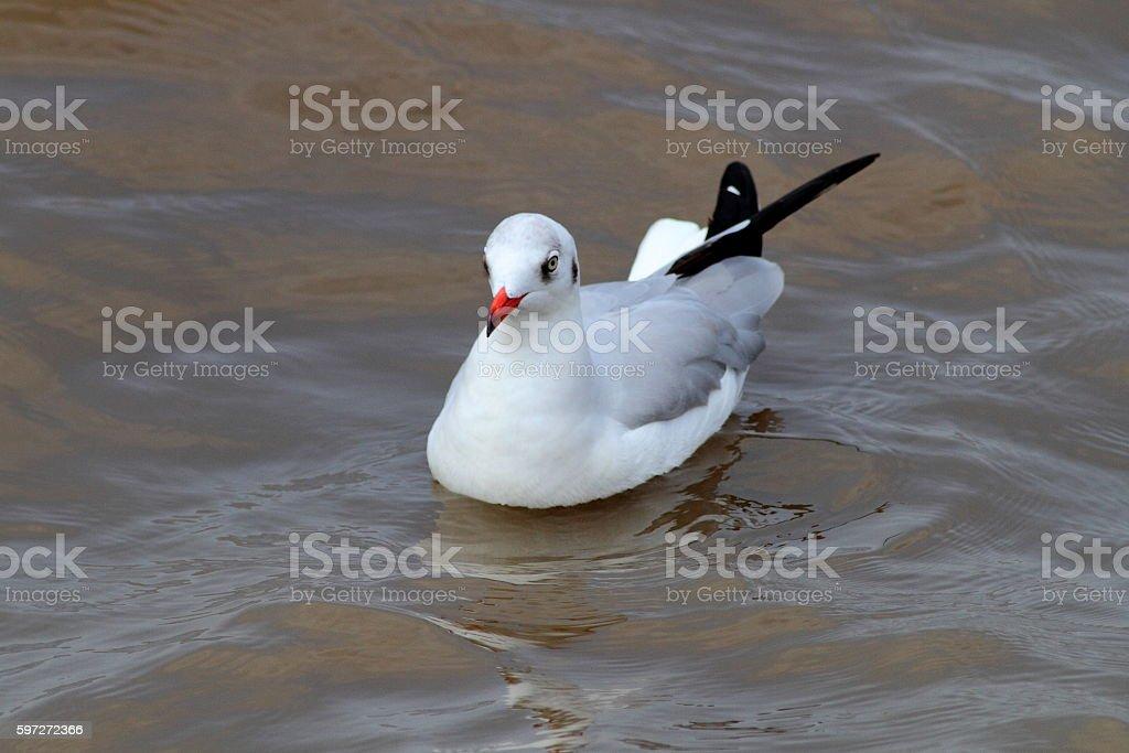 Mouette sur la mer photo libre de droits