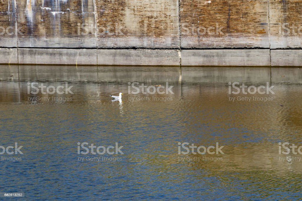 Seagull on the water royalty-free stock photo