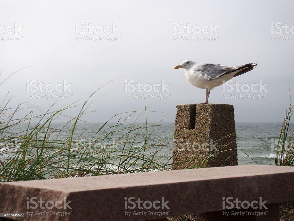 Seagull on Watch stock photo