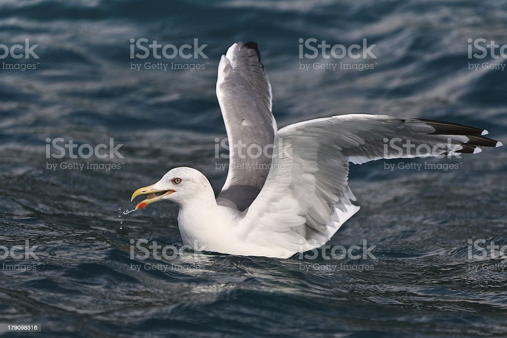 seagull on water royalty-free stock photo