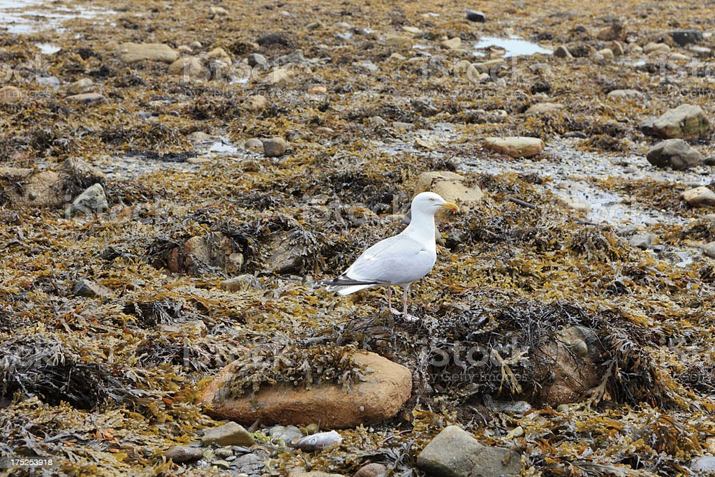 seagull on with seaweed covered rocks at low tide royalty-free stock photo