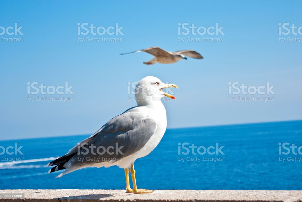 Seagull or gull on Azure coast stock photo