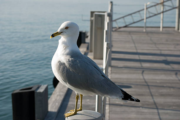 Seagull perched in Toronto Harbour stock photo