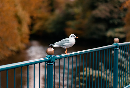 Seagull sitting on a blue metal railing against Autumn trees and a flowing river in Matlock