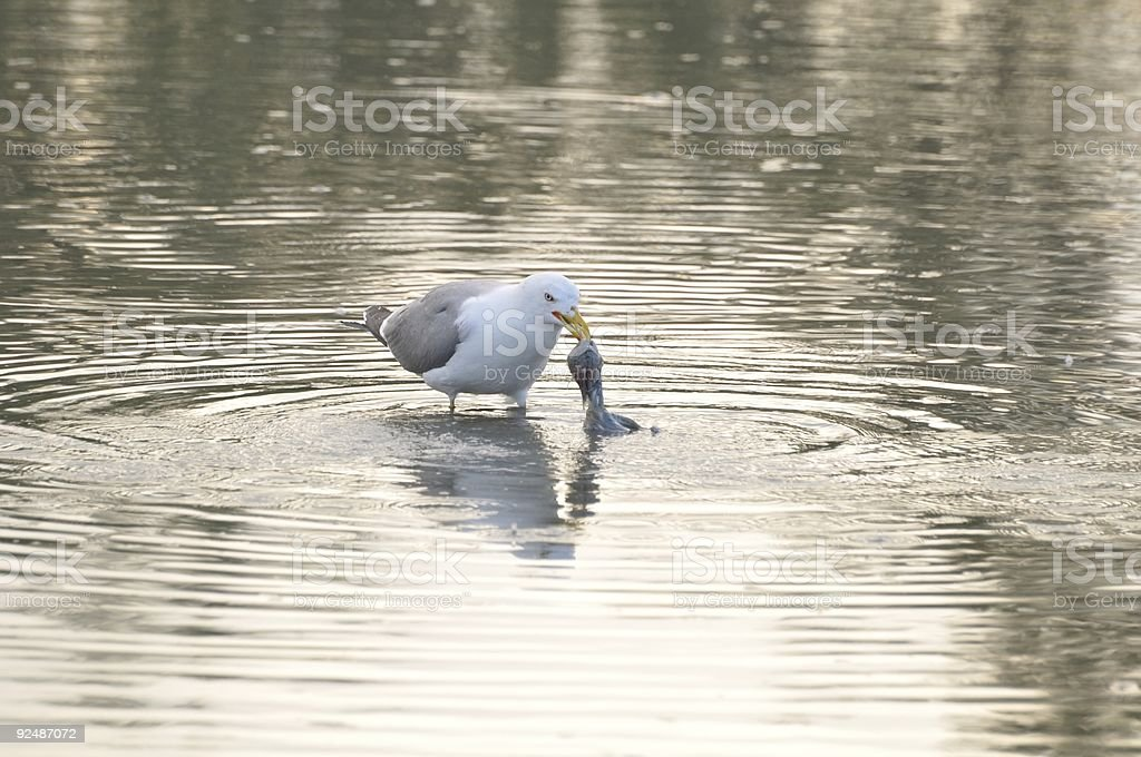 seagull picking a dead bird from water royalty-free stock photo