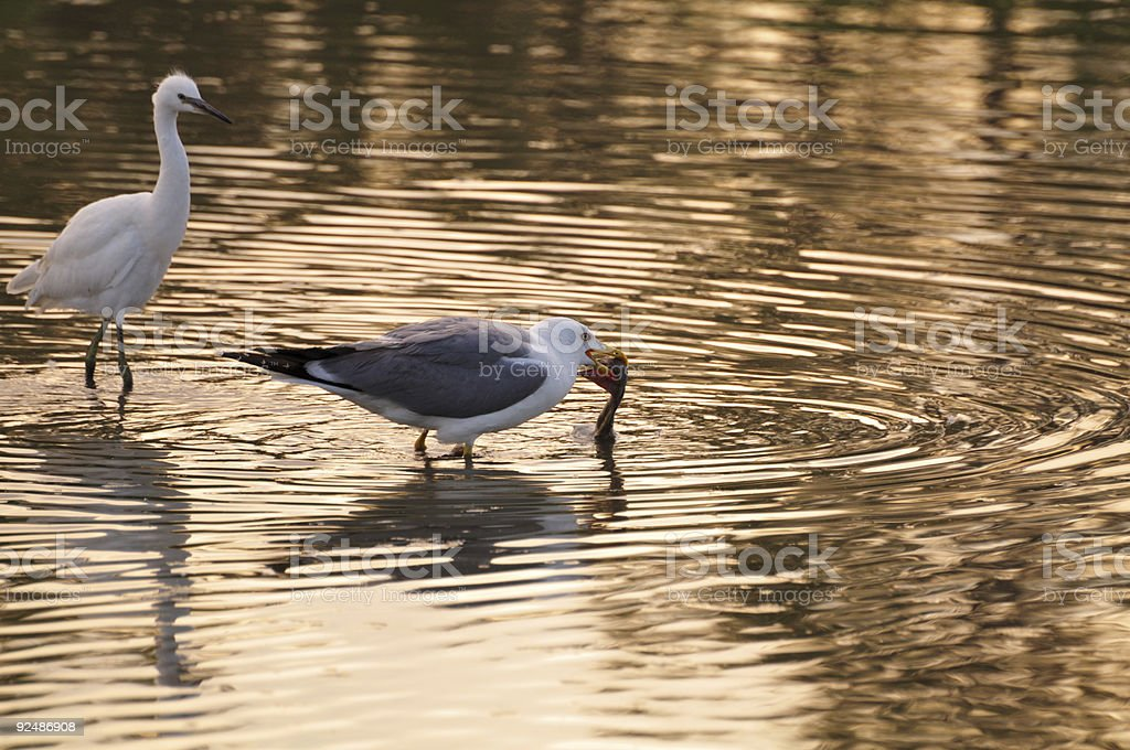 seagull picks dead bird, and an egret gets close royalty-free stock photo