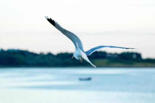 Seagull - foto stock
