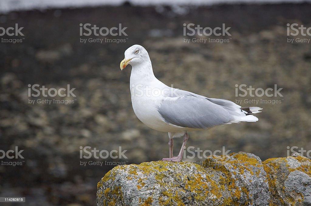 Seagull... stock photo