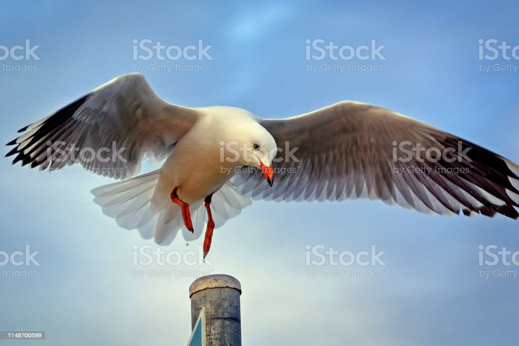 Seagull (Chroicocephalus (Larus) novaehollandiae) - Royalty-free Animal Stock Photo