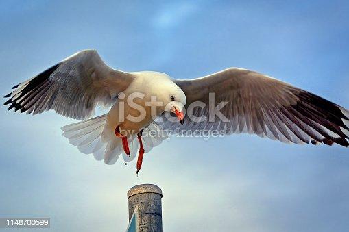 Australian Silver Seagull landing on a pole