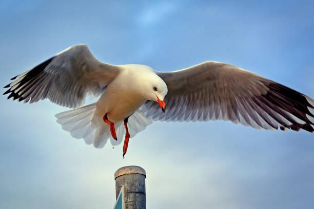 Seagull (Chroicocephalus (Larus) novaehollandiae) stock photo