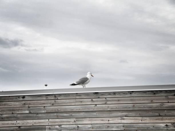 seagull - malin strandvall bildbanksfoton och bilder