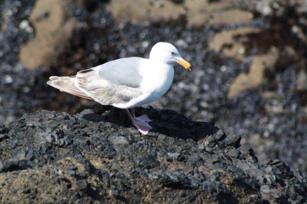 seagull - uccello marino foto e immagini stock