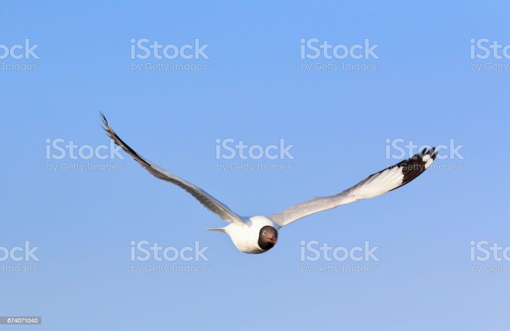 seagull photo libre de droits