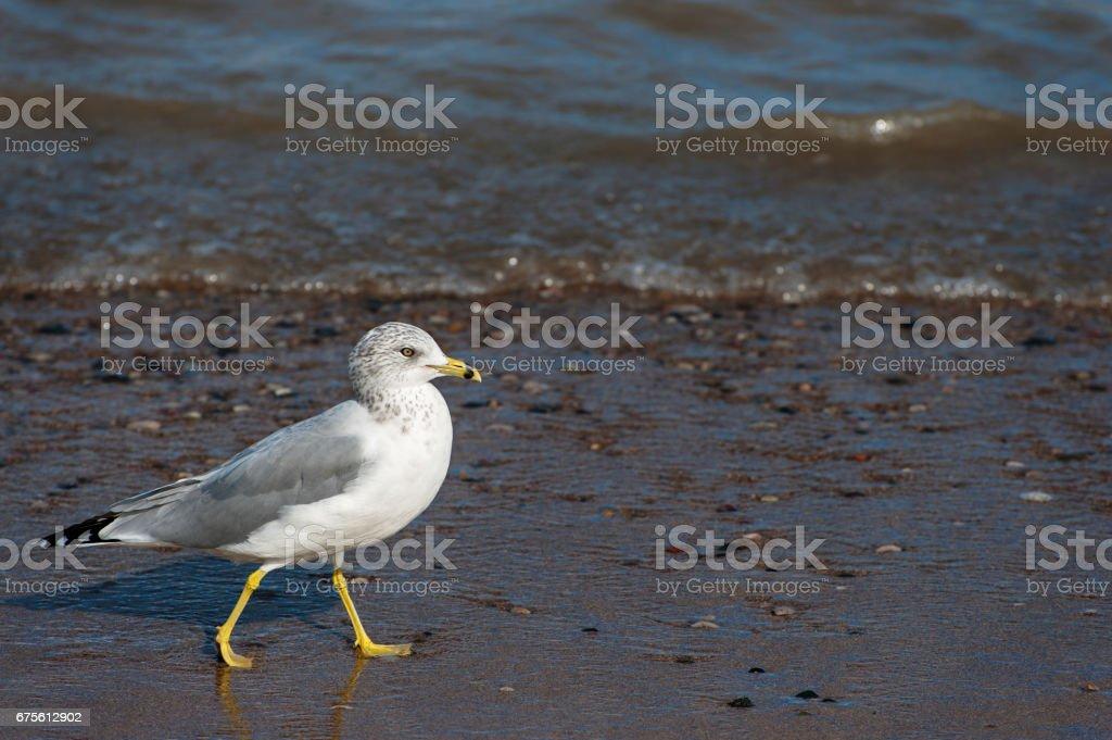Seagull foto de stock royalty-free
