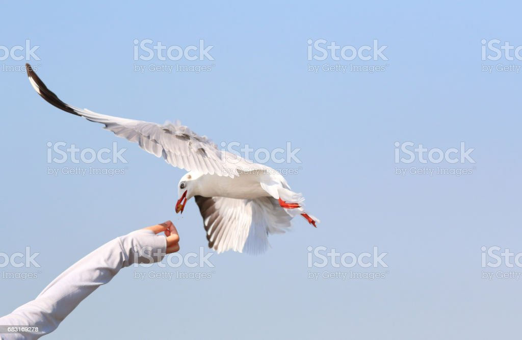 seagull 免版稅 stock photo