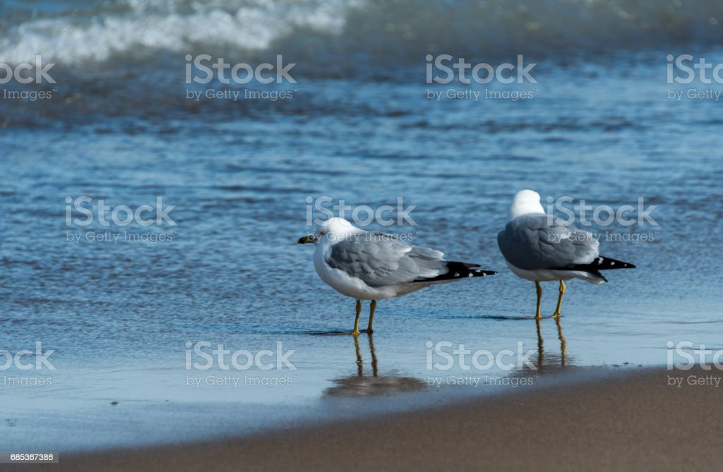 Seagull foto de stock royalty-free