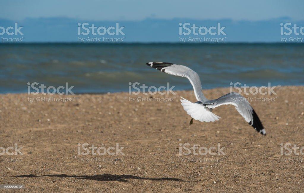 Seagull foto de stock libre de derechos