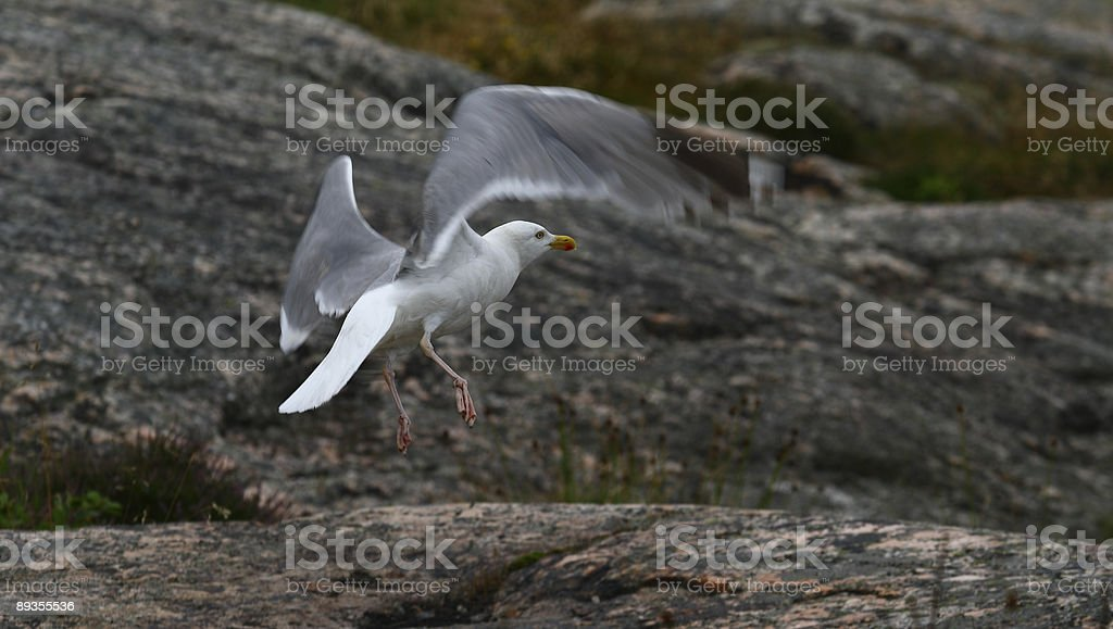 Seagull royalty free stockfoto