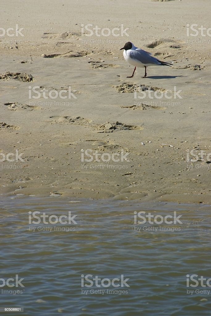 Seagull royalty-free stock photo