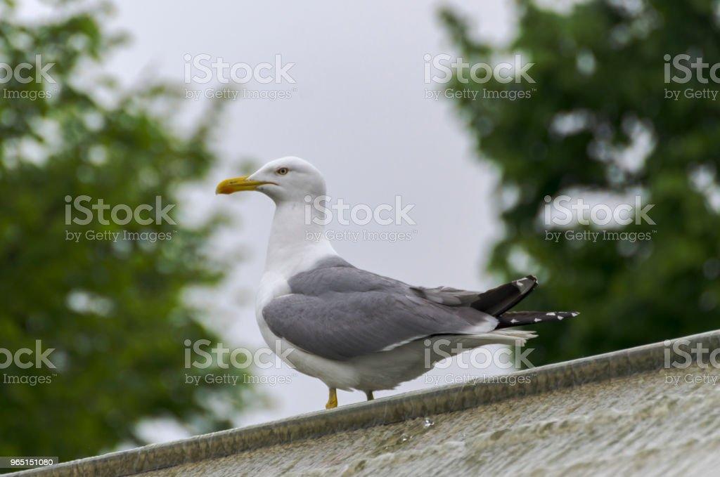 Seagull zbiór zdjęć royalty-free