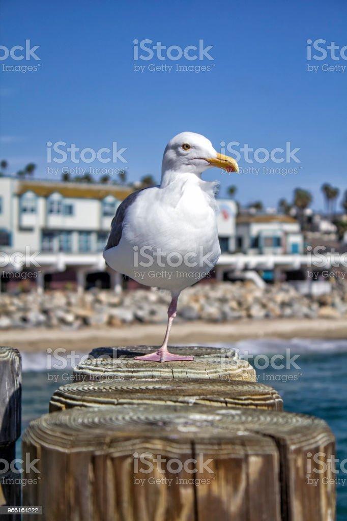 Seagull - Royaltyfri Bildskärpa Bildbanksbilder