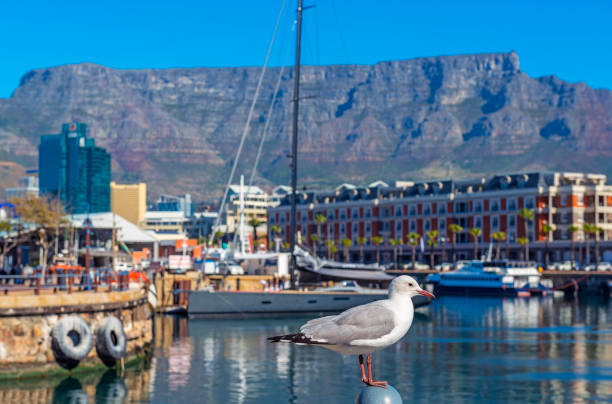 Seagull Portrait, Cape Town Harbor, South Africa stock photo