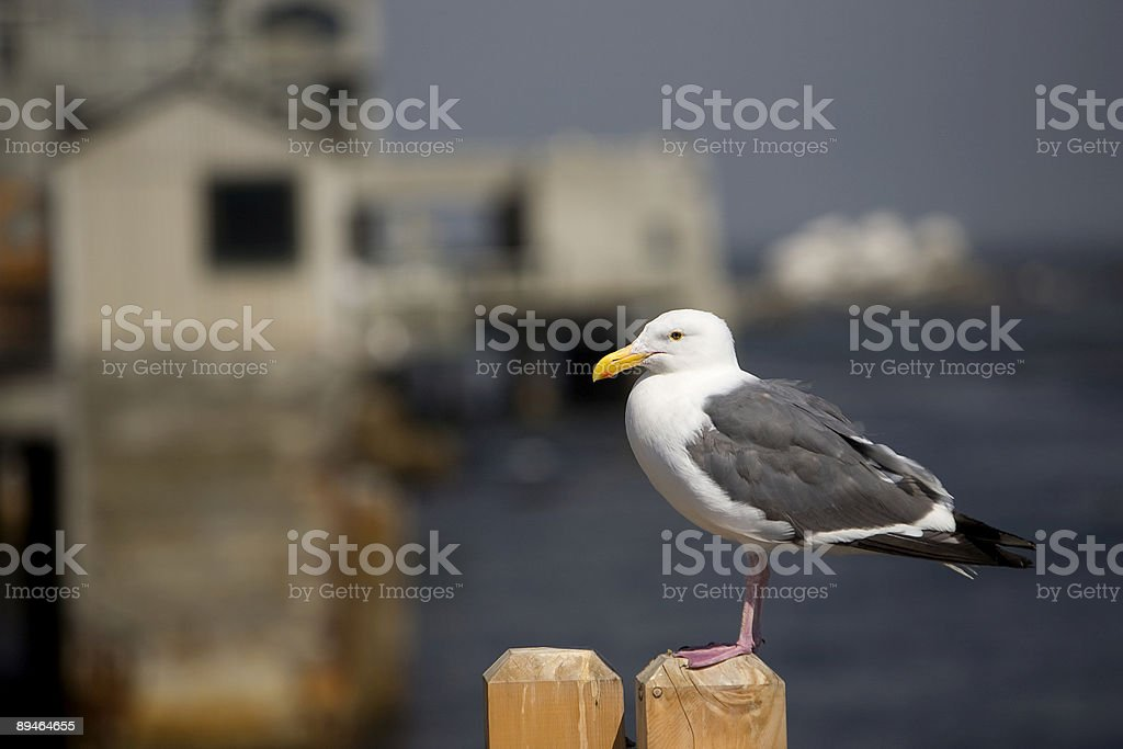 Seagull Portrait with Copy Space royalty-free stock photo