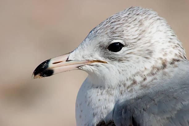 seagull profile stock photo