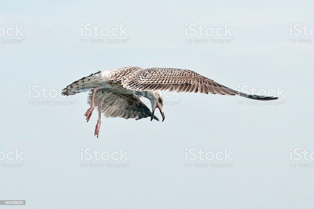 Seagull ready to Attack stock photo