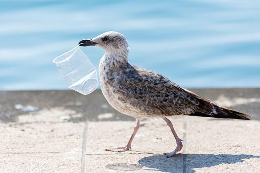 Seagull walking around with plastic glass