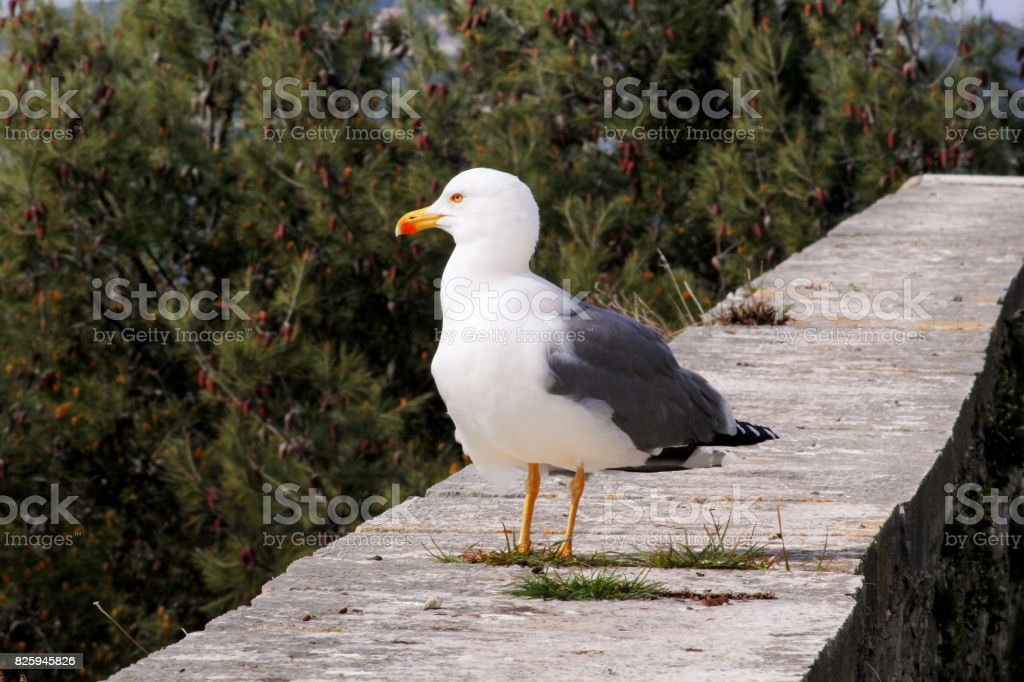 Seagull resting on dock. Seagull standing on a stone wall and rest with pine forest is a beautiful natural environment in the background. Seagull close shot and posing of the camera. stock photo